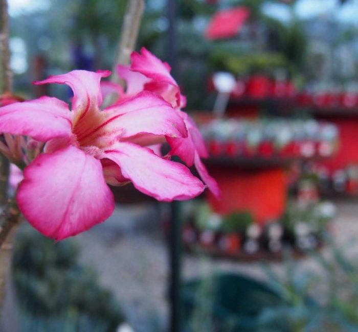Desert Rose (Adenium) blossom