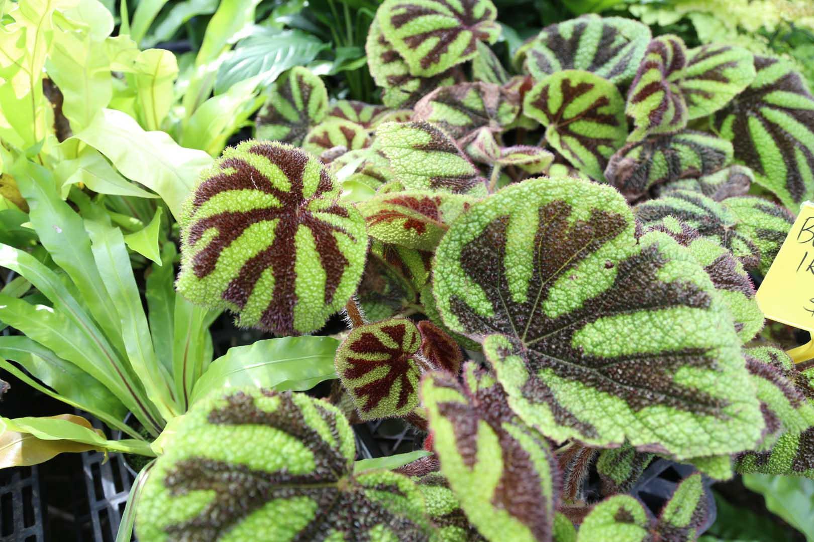 Begonia 'Iron Cross' looking stunning