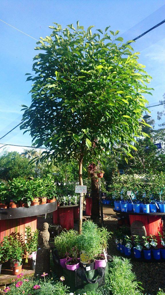 Trees Oxley Nursery