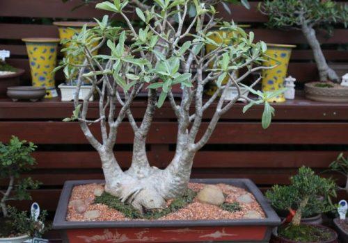 bonsai-003