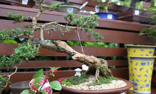 bonsai-004