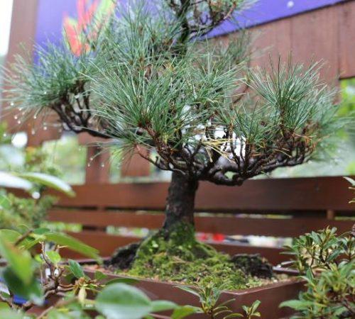 bonsai-006