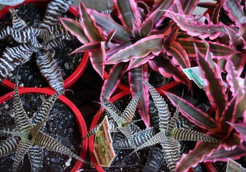 Cryptanthus broms for sale