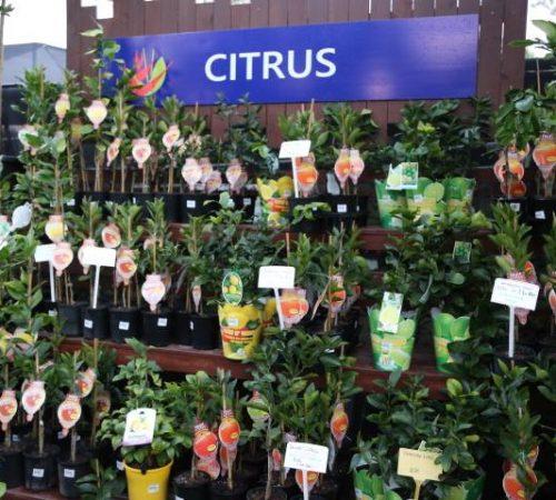 fruit-citrus-001
