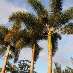 Foxtail Palm (Wodyetia bifurcata)