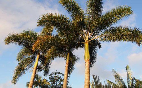 Foxtail Palms at Oxley Nursery, Brisbane