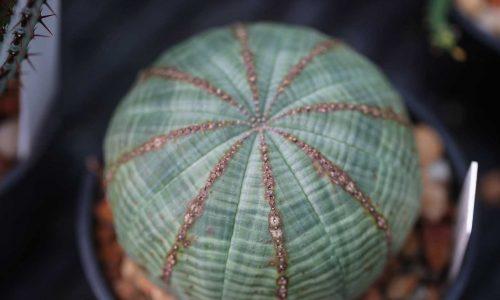 Succulent Euphorbia