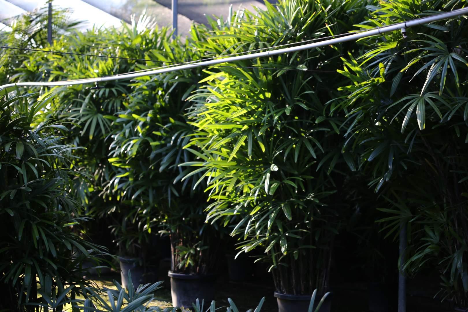 Row of Rhapis Palms at Oxley Nursery, Brisbane