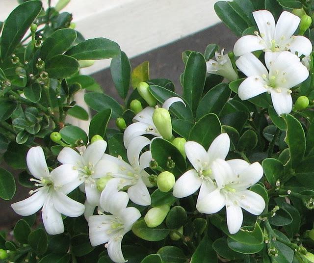 Murraya flowers