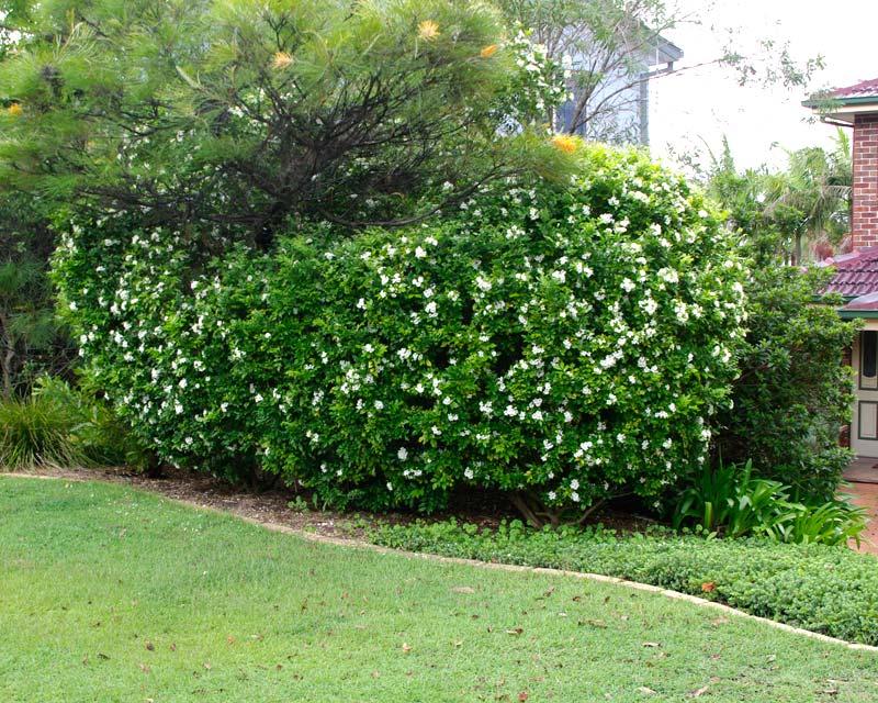 Mock Orange as a neat hedge