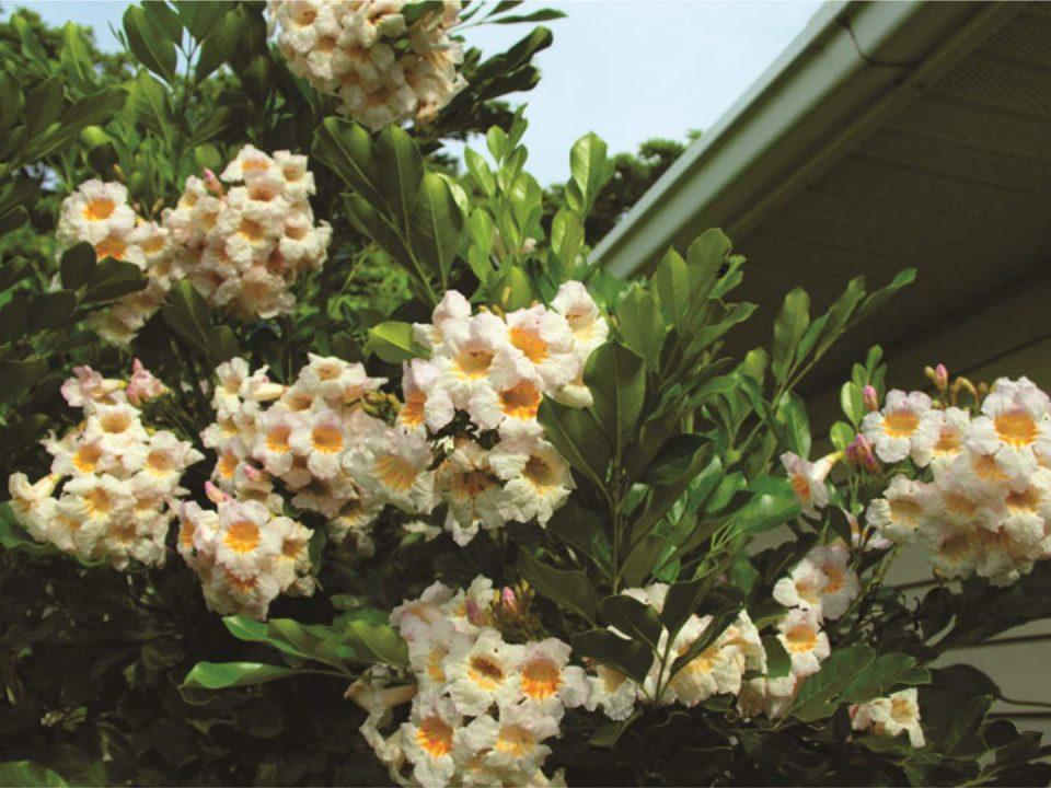 Summerscent blooms