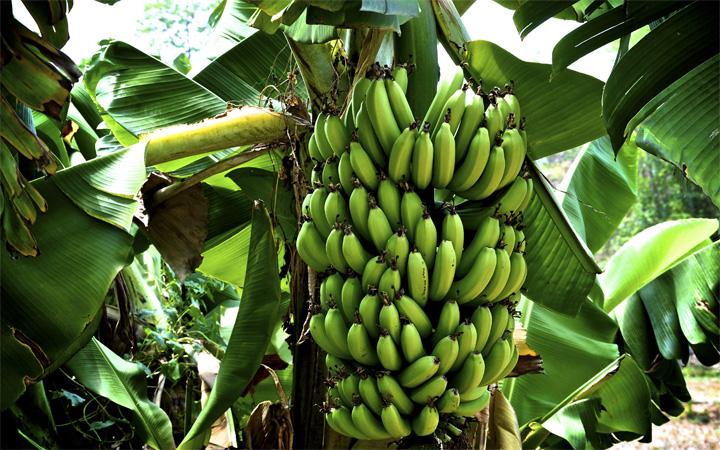 Cavendish bananas on the tree
