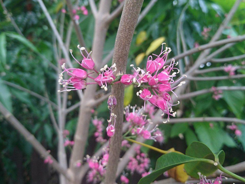 Magnolia Grandiflora Teddy Bear Plant Profile Oxley Nursery