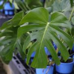 Fruit Salad Plant (Monstera)