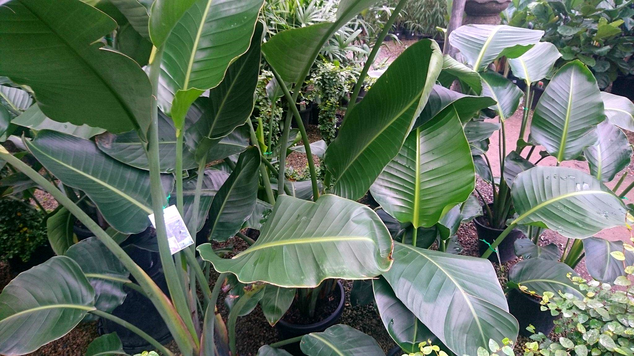 White bird of paradise plant care - photo#39