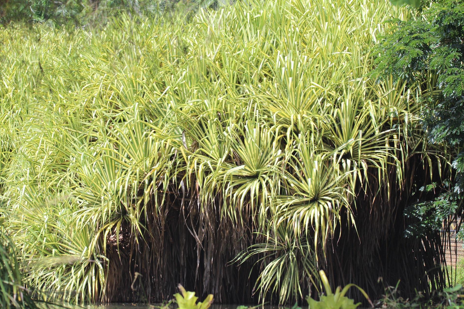 Pandanus baptistii in Cairns