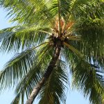 Coconut Palm in Cairns