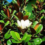 Magnolia 'Teddy Bear'