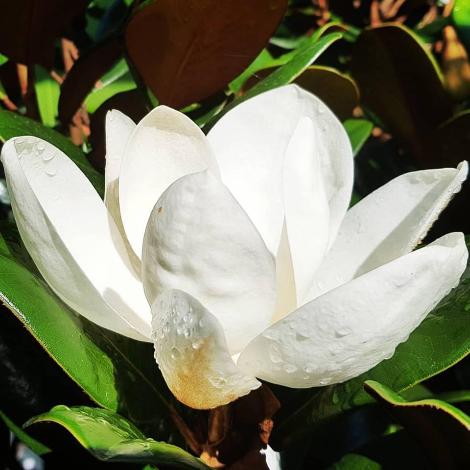 magnoliaTB-004