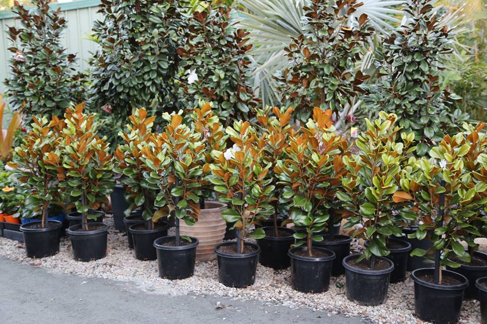 Magnolia Grandiflora Teddy Bear Plant Profile Oxley Nursery