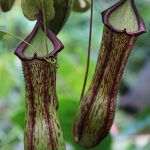 Nepenthes (Tropical Pitcher Plant)