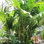 Ivory Cane Palm (Pinanga coronata)