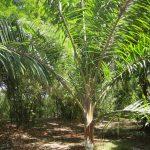 Redneck Palm (Dypsis leptocheilos)