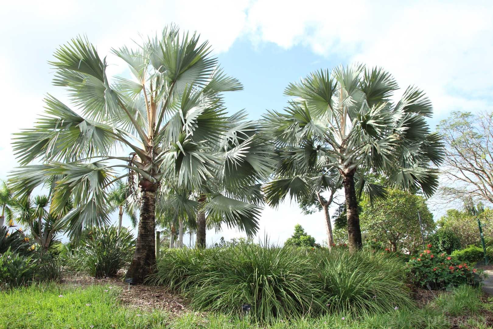Pair of Bismark Palms at Mt. Coo Tha Botanic Gardens