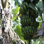 Banana – Cavendish