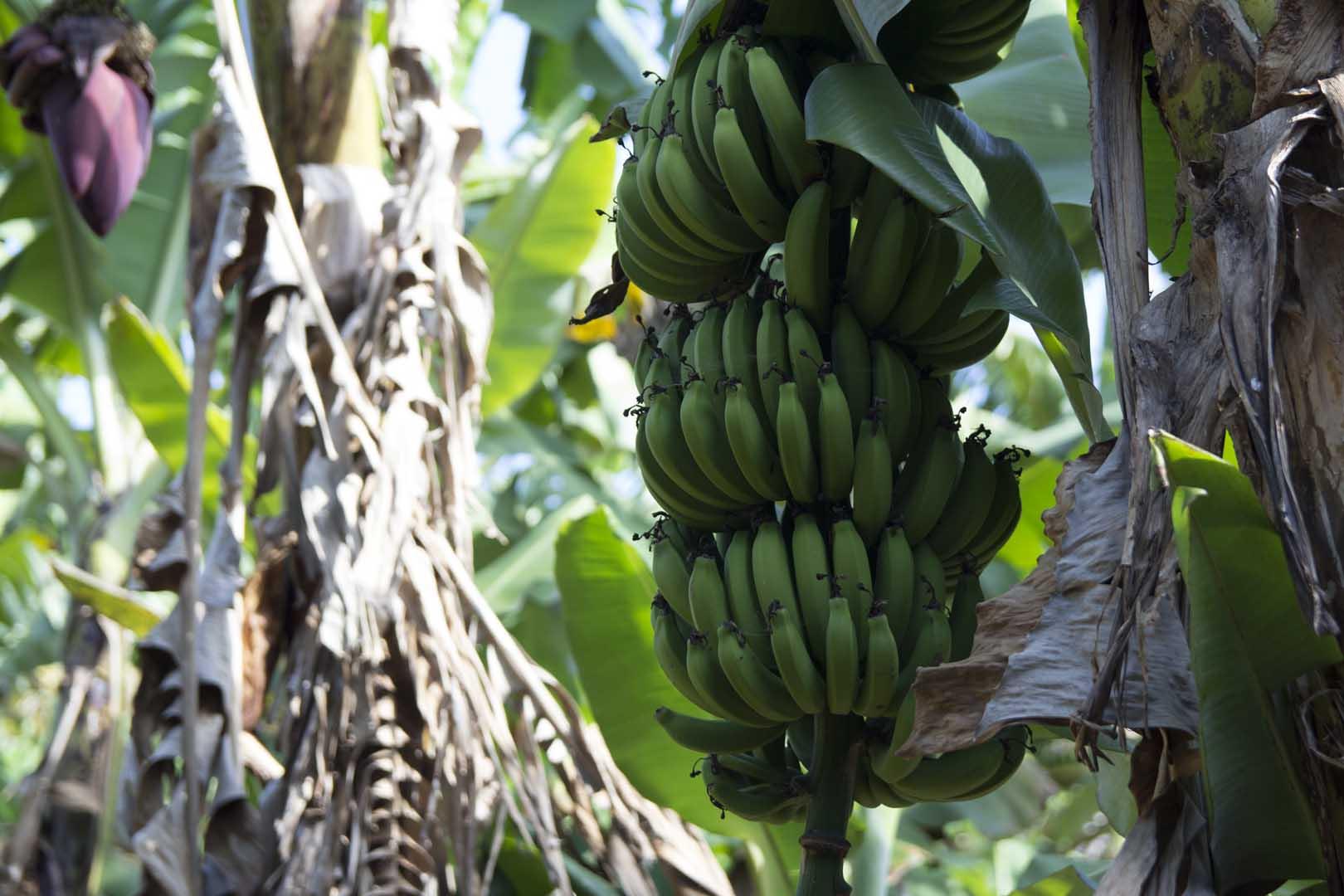banana-008