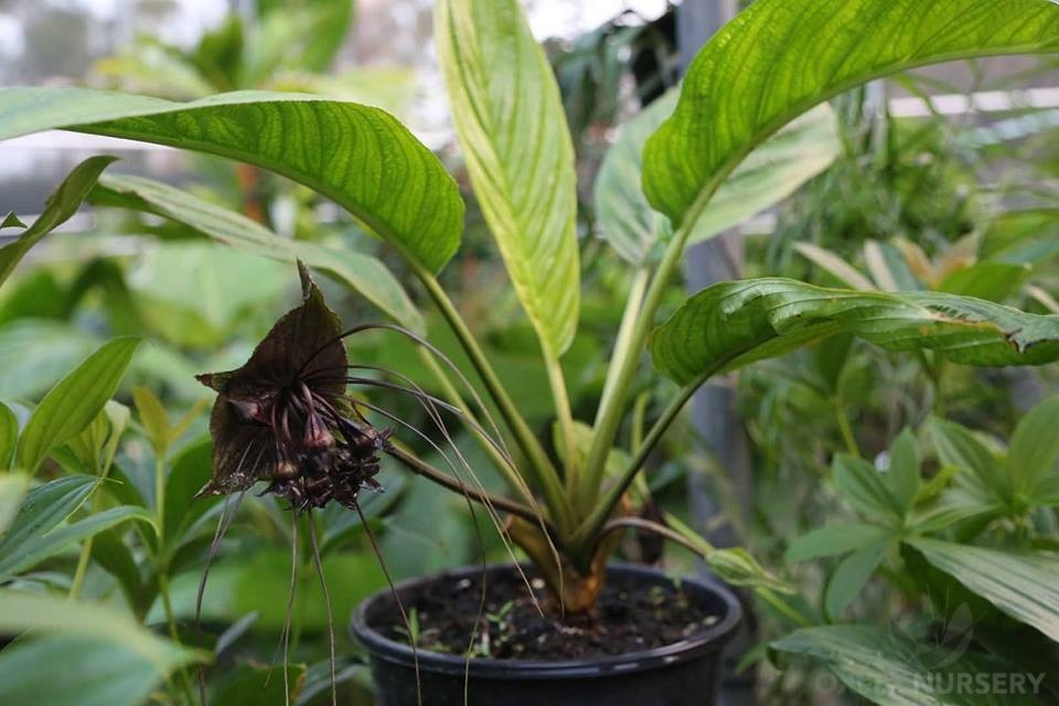 Black Bat Plant at Oxley Nursery