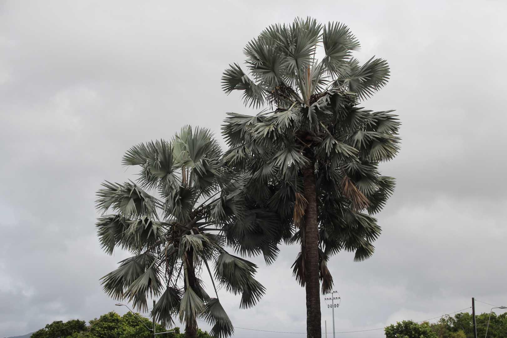 bismarck-palm-002