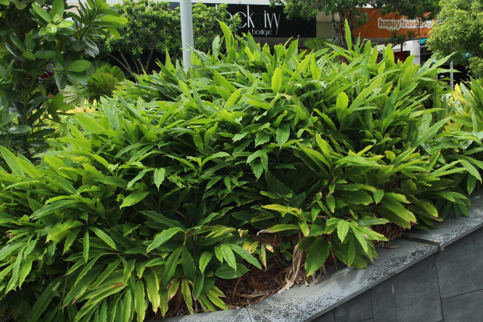 Alpinia mutica growing in Cairns