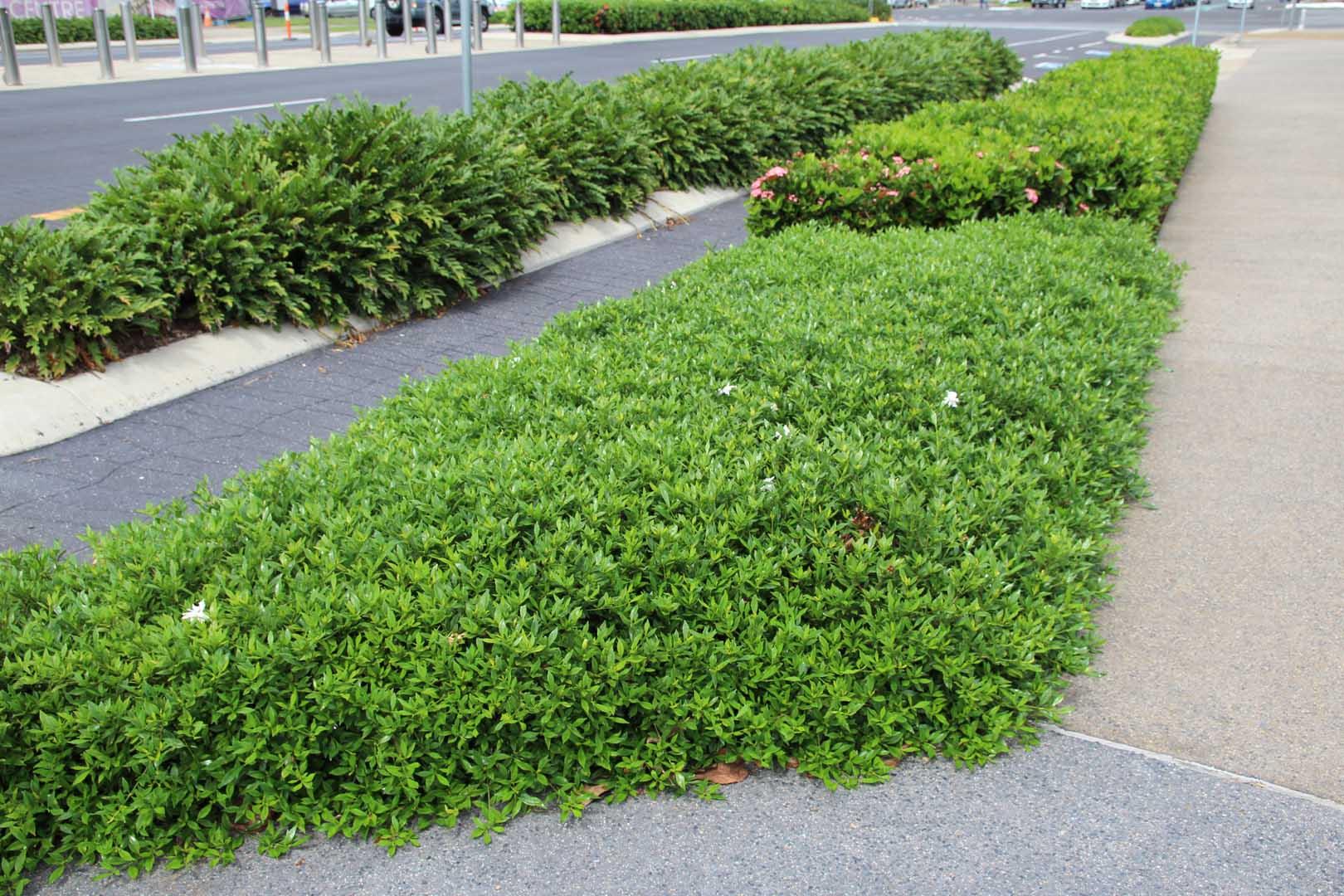 gardenia-radicans-001