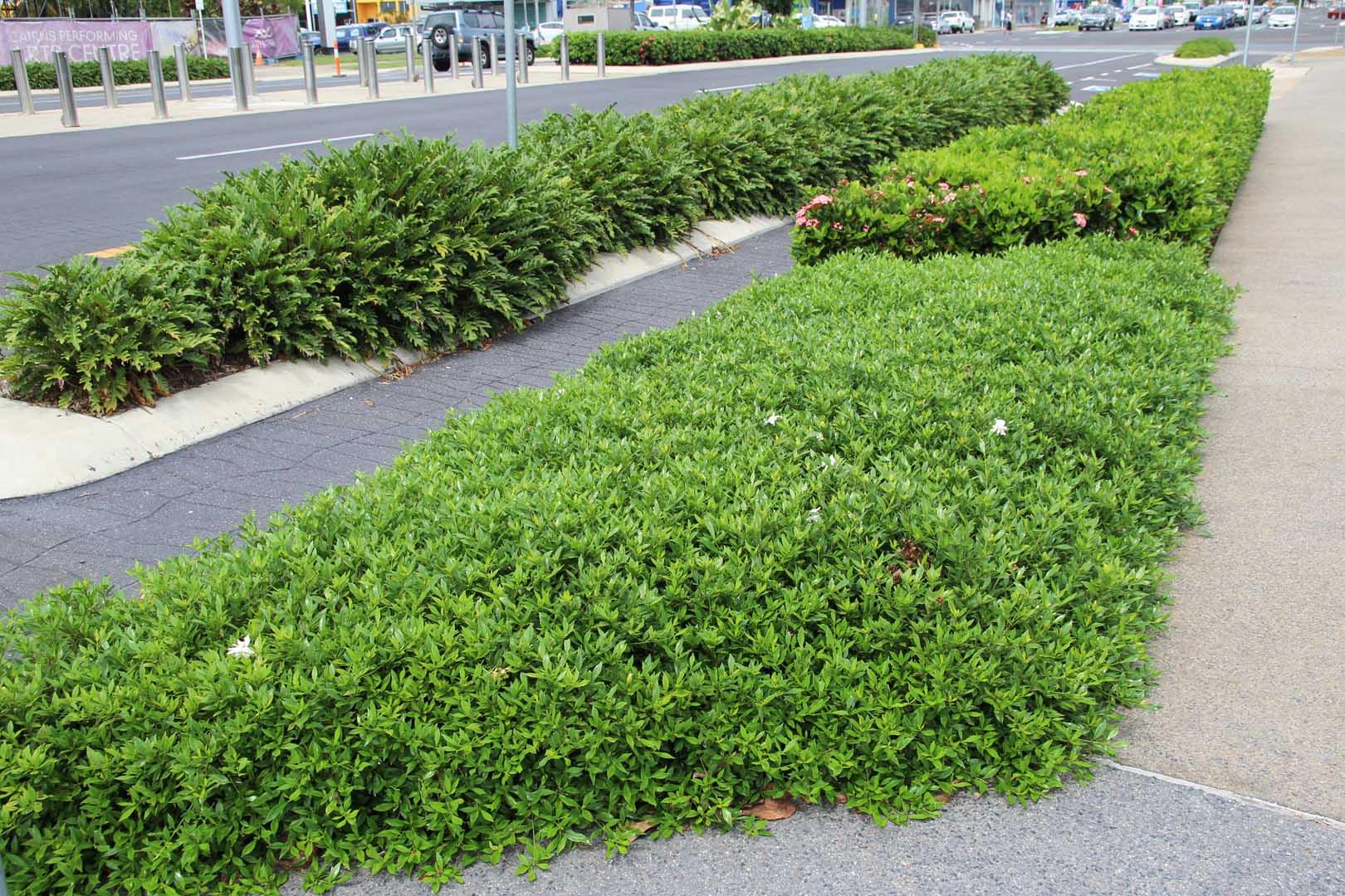 Gardenia radicans in Cairns