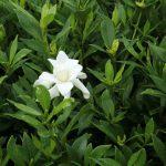 Cape Jasmine (Gardenia radicans)