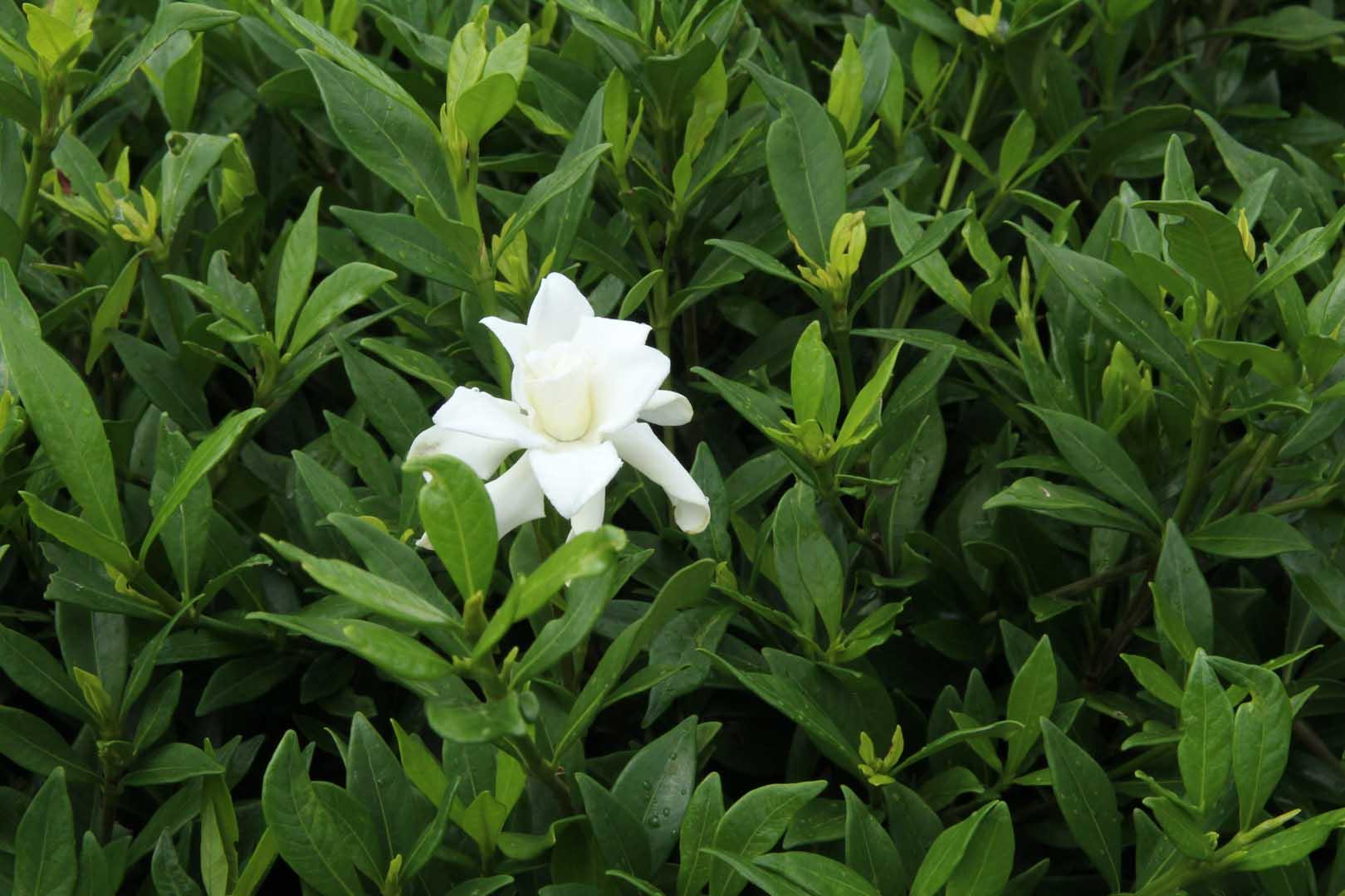 gardenia-radicans-003