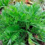 Florida Arrowroot (Zamia integrifolia)