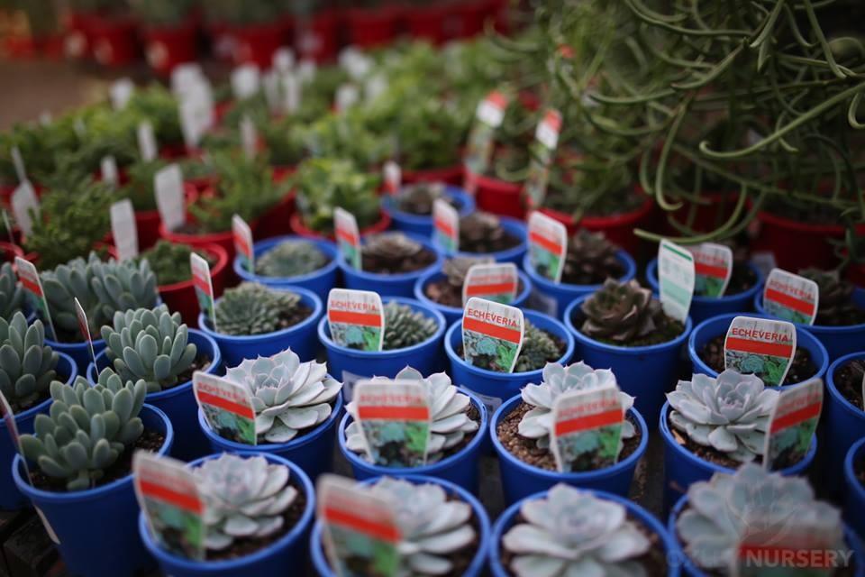 Cacti & Succulents - Buy Cacti & Succulents in Brisbane