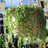 String of Pearls – Senecio rowleyanus