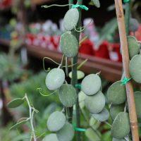 Silver Dollar Vine – Xerosicyos danguyi