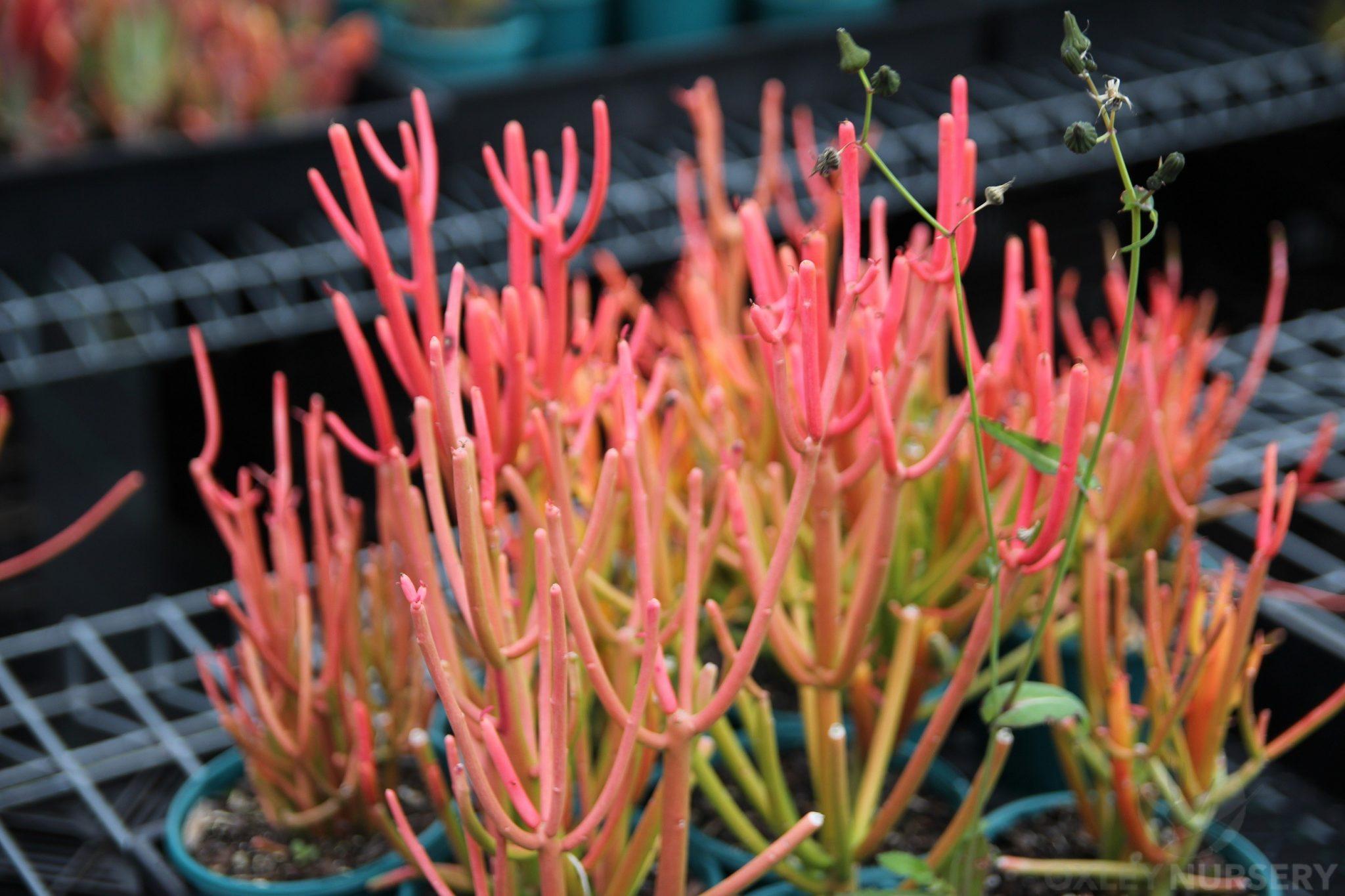Firesticks Euphorbia Tirucalli Oxley Nursery
