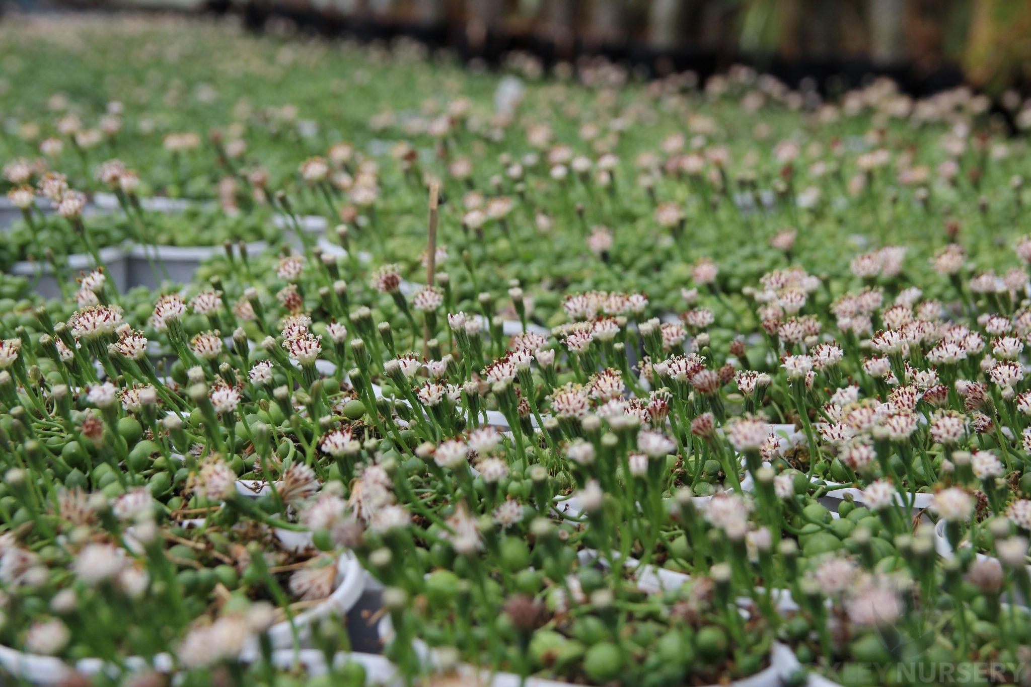 String Of Pearls Senecio Rowleyanus Oxley Nursery