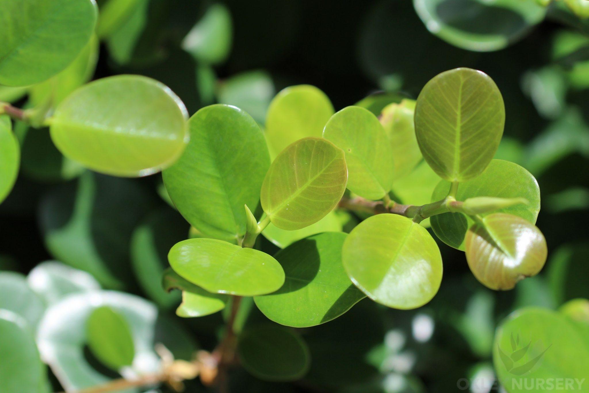 Green Island Fig foliage
