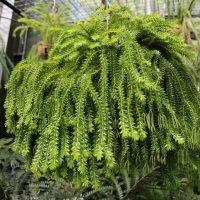 Tassel Fern (Huperzia spp.)