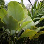 Calathea lutea – Cigar Plant