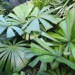 North QLD Fan Palm (Licuala ramsayi)