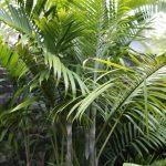 Blue Cane Palm (Dypsis cabadae)
