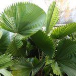 Elegant Fan Palm (Licuala elegans)