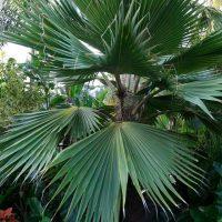 Hawaiian Fan Palm (Pritchardia hillebrandii)